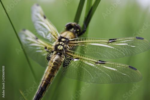Foto Murales green dragonfly