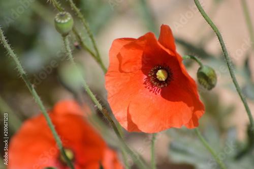 Foto op Canvas Klaprozen Flower
