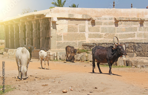 Foto Murales Black and white cows stand among the attractions of Hampi, India. Cow India