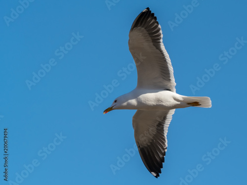 Foto op Canvas Stockholm A flying black-backed gull (Larus marinus) from below against the blue sky as background