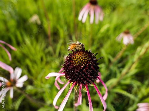 Foto Murales Western honey bee (Apis mellifera) on purple cone flower