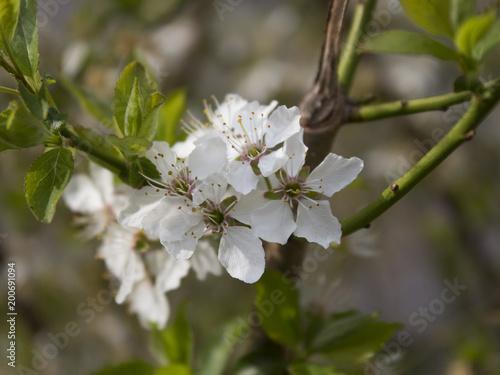 Szczegół drzewny kwitnienie w wiośnie. Niemcy