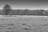 Cows and Bulls Grazing on Meadows