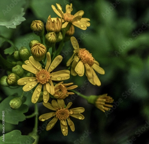Yellow flower with rain drops