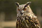 Royal owl - 200724295