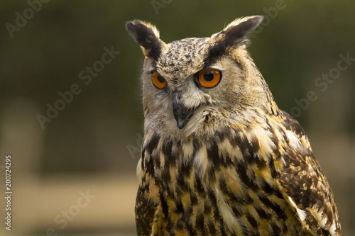 Foto Murales Royal owl