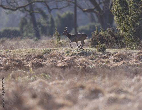 Foto Murales Roe deer buck running in field with juniper bushes.