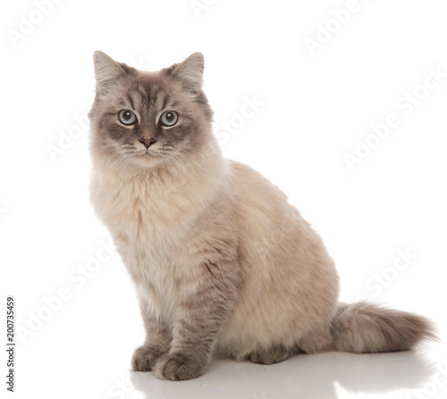 adorable grey cat with light blue eyes sitting
