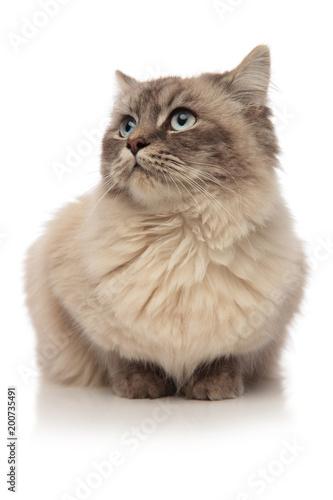 Fotobehang Kat grey furred cat lying looks to the side in awe