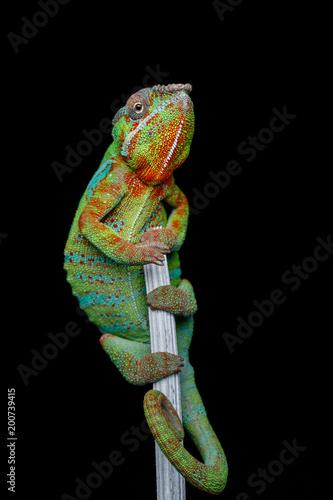 Fototapeta alive chameleon reptile