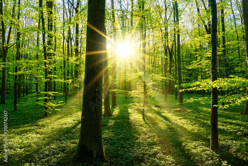 Fototapety, obrazy : Beautiful forest in spring with bright sun shining through the trees