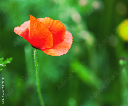 Bright poppy flower, against a green lawn background, beautiful natural summer floral background