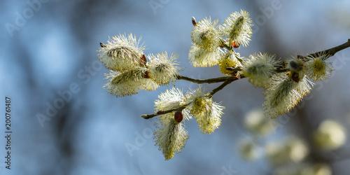 Kwitnące wierzbowe bazia wierzby (Salix)