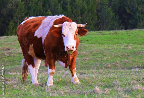 Bull on a green summer meadow