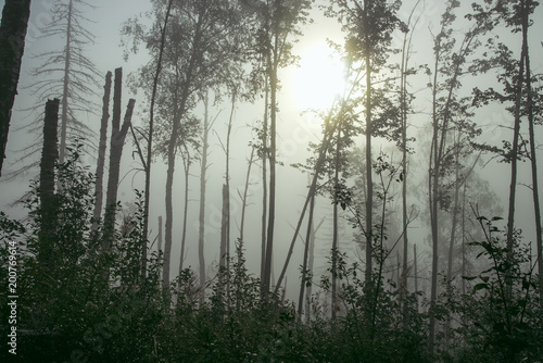 Plexiglas Betoverde Bos misty forest in fog background, silhouettes of trees