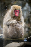 Snow monkey (Japanese Macaque) in a snowstrom, Jigokudani Monkey Park, Nagano, Japan