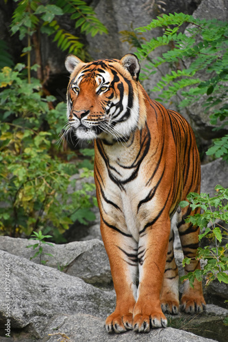 Plexiglas Tijger Close up front portrait of Indochinese tiger