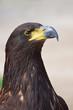 Close up profile portrait of Golden eagle on grey