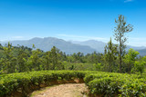 Tea plantation in mountains and blue sky.