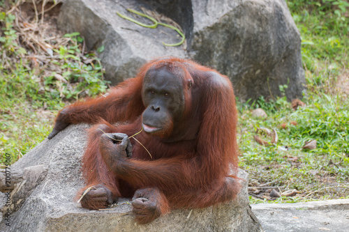Fotobehang Aap portrait of orangutan in relax time