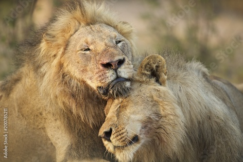 Brotherly love with lions