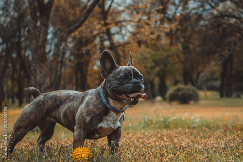 Plexiglas Franse bulldog French bulldog outdoors