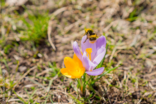Foto op Canvas Stockholm Bumblebee on the yellow and lilac crocuses. The bumblebee is in the pollen. Tender pastel green and lilac colors. Blurred background.