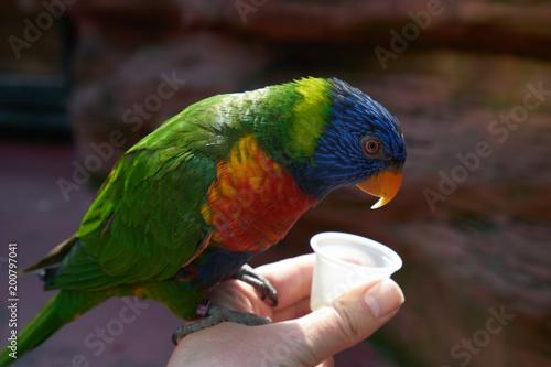 Plexiglas Papegaai Feeding the bright parrots from the hand