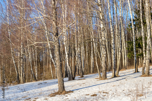 Birch grove on the slope on a winter day  - 200798288