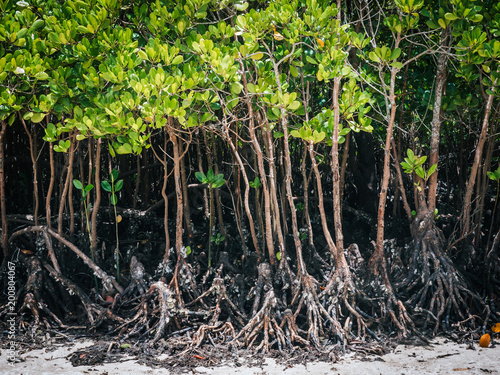 mangroves green on a beach in kenya