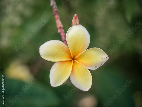 Fotobehang Plumeria Yellow african flower petals