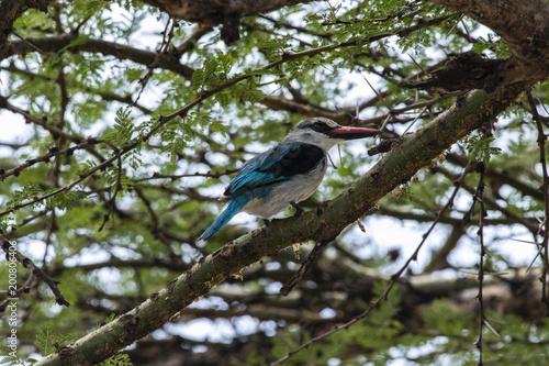 Foto Murales Woodland Kingfisher