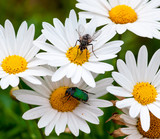 Macro photo of flowers, daisy and green beetle and fly