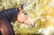 Portrait of the buckskins Akhal-Teke horse on white blooming trees background - 200813278