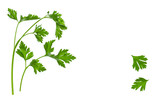 garden parsley leaves and stalks on white background with copy space - 200813448