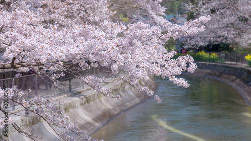 Fotobehang Kyoto 春の山科疏水