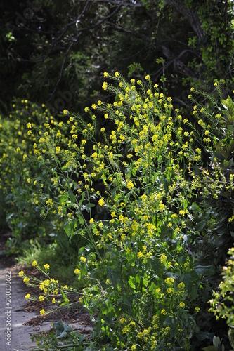 Foto Murales 유채꽃, 봄, spring