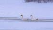 Swans are having fun time in snowstorm