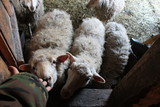 sheep, animal, lamb, farm, wool, agriculture, cute, mammal, young, white, baby, livestock, farming, lambs, nature, ewe, grass, herd, rural, spring, field, domestic, meadow, goat, looking - 200839284