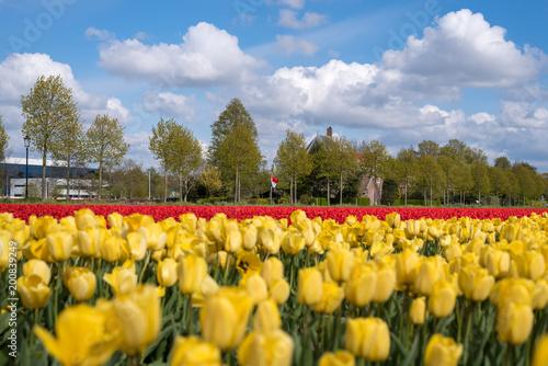 Plexiglas Tulpen Colourful tulip fields, Netherlands