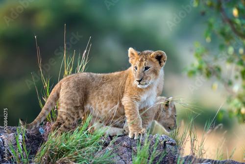 Plexiglas Lion Lion cub