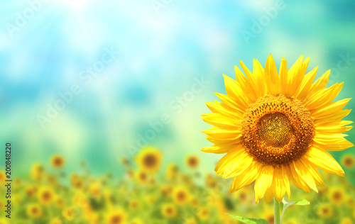 Foto Murales Sunflowers on blurred sunny background