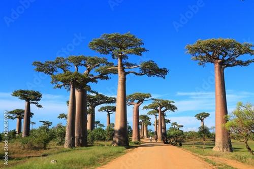 Foto Spatwand Baobab バオバブ街道