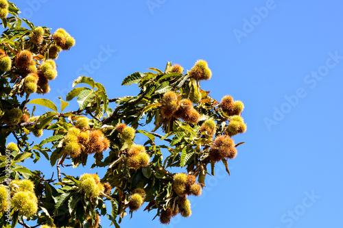 Foto Murales detail of ripe chestnuts