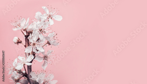 Fototapeta White cherry blossom at pastel pink background, spring nature and holidays layout
