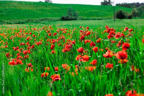 Foto op Canvas Klaprozen Poppies field