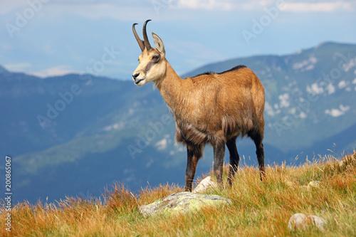 Chamois - Rupicapra Carpatica who goes on a mountain