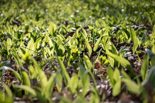 Allium ursinum known as bears garlic in suny forest