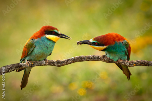 Foto Murales Pair of bee-eaters perched on a branch
