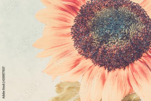 Macro shot of blooming sunflower - 200877837